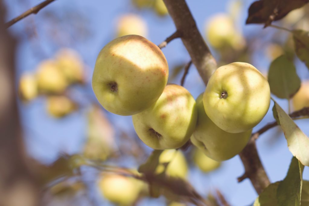 Arctic® Apples: A Bite Out Of The Science